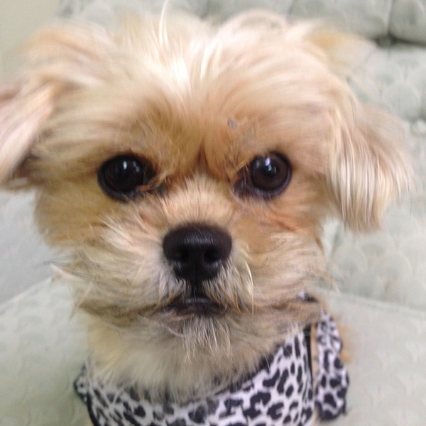 Cali is a Shih Tzu Yorki mix who is trained to be a PTSD service dog.